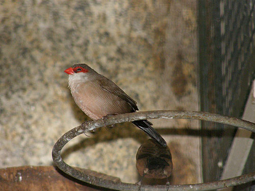 photo Common waxbill / <span class='cursive'>Estrilda astrild</span>