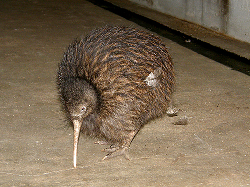 photo North Island brown kiwi / <span class='cursive'>Apteryx australis mantelli</span>