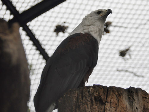 photo African fish eagle / <span class='cursive'>Haliaeetus vocifer</span>
