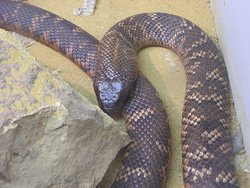photo Collett's snake / <span class='cursive'>Pseudechis colletti</span>
