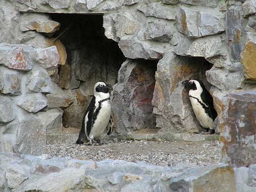 photo African penguin / <span class='cursive'>Spheniscus demersus</span>