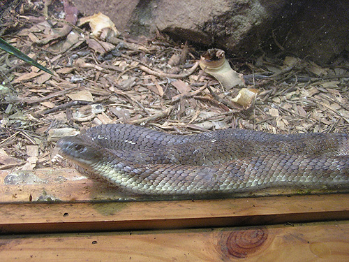 photo Australian tiger snake / <span class='cursive'>Notechis scutatus</span>
