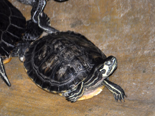 photo Yellow-bellied slider / <span class='cursive'>Trachemys scripta scripta</span>