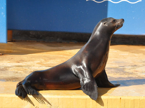 photo South American sealion / <span class='cursive'>Otaria byronia</span>