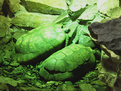 South American yellow-footed tortoise