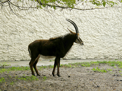 photo Hippotragus niger / Sable antelope