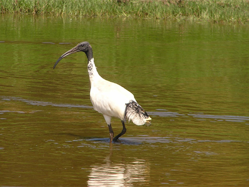 photo Threskiornis molucca / Australian white ibis