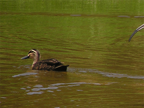 photo Pacific black duck / <span class='cursive'>Anas superciliosa</span>