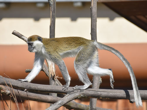photo Green monkey / <span class='cursive'>Chlorocebus aethiops</span>