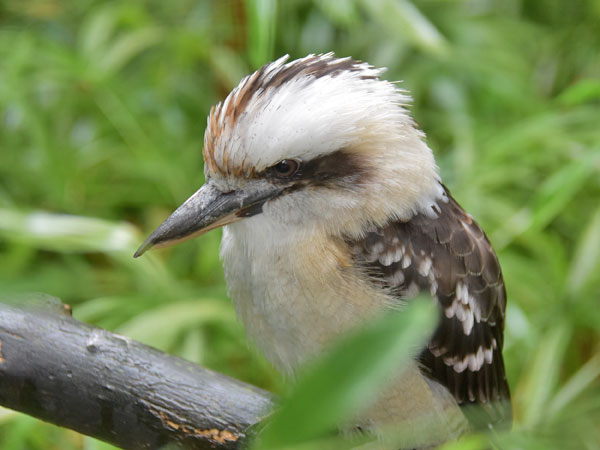 photo Laughing kookaburra / <span class='cursive'>Dacelo novaeguineae</span>