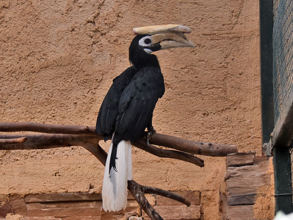 photo Anthracoceros marchei / Palawan hornbill