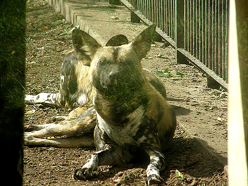 photo African hunting dog / <span class='cursive'>Lycaon pictus</span>