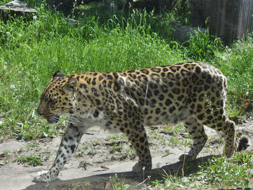 photo Panthera pardus orientalis / Amur leopard