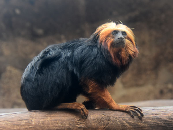 photo Golden-headed tamarin / <span class='cursive'>Leontopithecus chrysomelas</span>