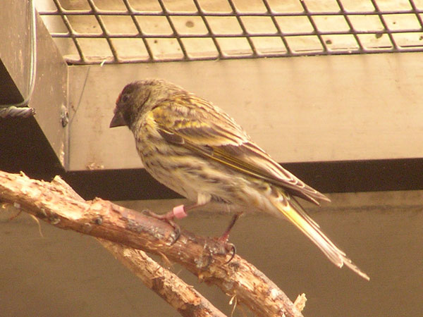 photo Golden-fronted serin / <span class='cursive'>Serinus pusillus</span>