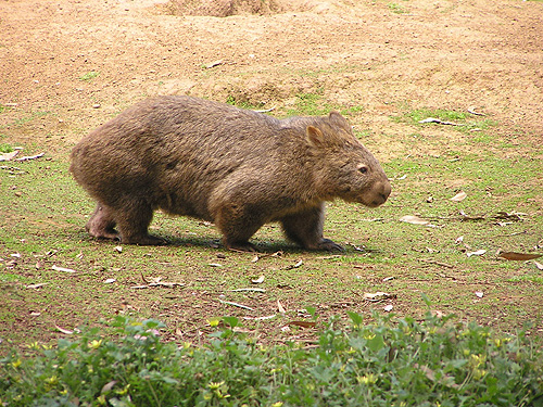 photo Common wombat / <span class='cursive'>Vombatus ursinus</span>
