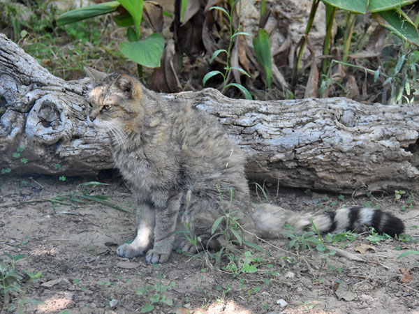 photo Felis silvestris silvestris / European wild cat
