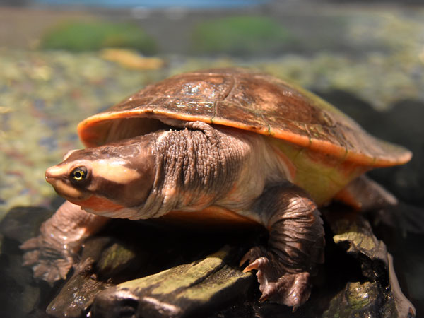 Red-bellied short-necked turtle