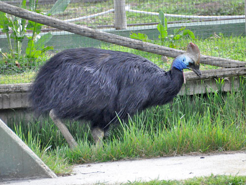 photo Double-wattled cassowary / <span class='cursive'>Casuarius casuarius</span>