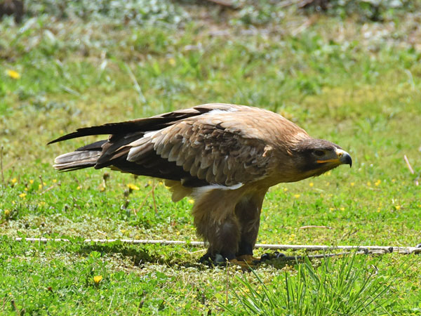 photo Steppe eagle / <span class='cursive'>Aquila rapax vindhiana</span>