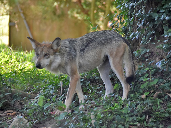 photo Mexican wolf / <span class='cursive'>Canis lupus baileyi</span>