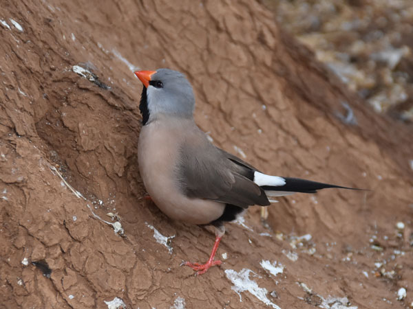 photo Heck's long-tailed finch / <span class='cursive'>Poephila acuticauda hecki</span>