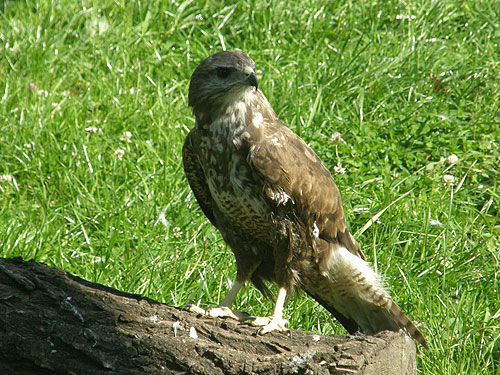 Western common buzzard