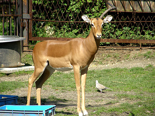 photo Aepyceros melampus / Impala