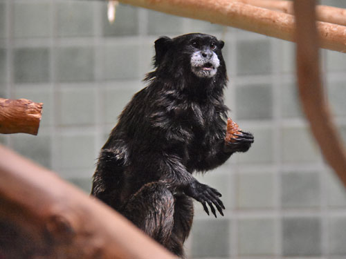 Black-and-red tamarin