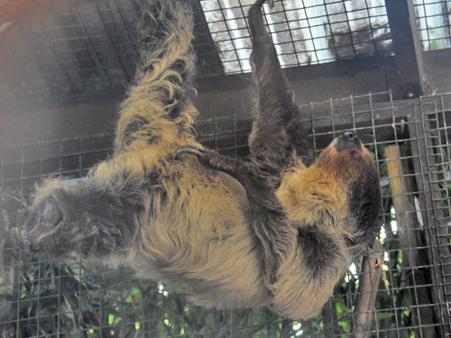 photo Linne's two-toed sloth / <span class='cursive'>Choloepus didactylus</span>