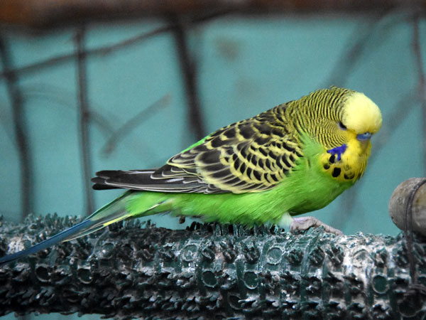 photo Melopsittacus undulatus / Budgerigar (Breeding-form)