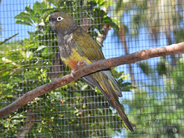 Chilean burrowing parrot