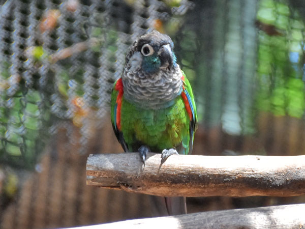 Pearly conure