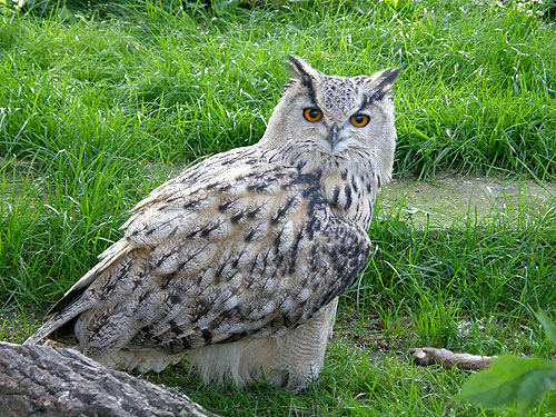 Turkoman eagle owl