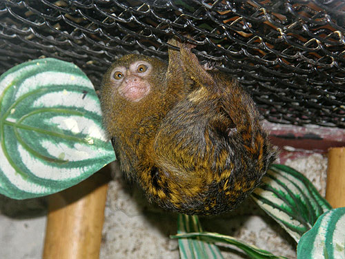 photo Pygmy marmoset / <span class='cursive'>Cebuella pygmaea</span>