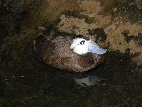 photo White-headed duck / <span class='cursive'>Oxyura leucocephala</span>
