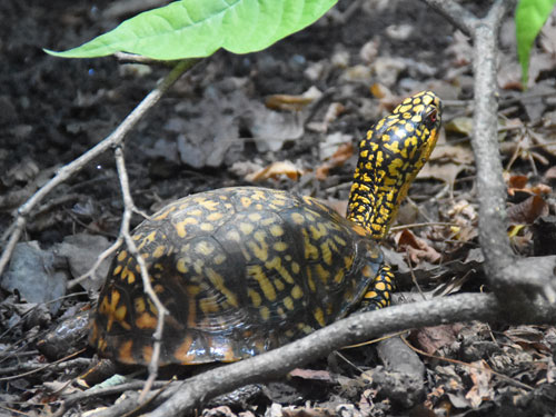 photo Eastern box turtle / <span class='cursive'>Terrapene carolina carolina</span>