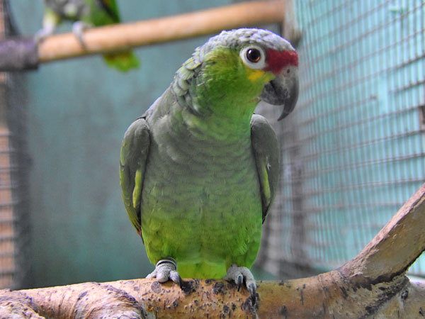 photo Amazona autumnalis autumnalis / Red-lored amazon
