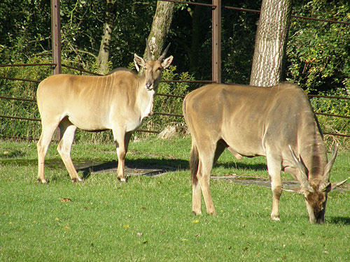photo Common eland / <span class='cursive'>Tragelaphus oryx</span>