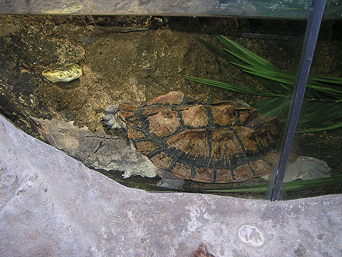 photo Matamata turtle / <span class='cursive'>Chelus fimbriatus</span>