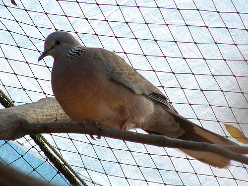 photo Spilopelia chinensis / Spotted dove
