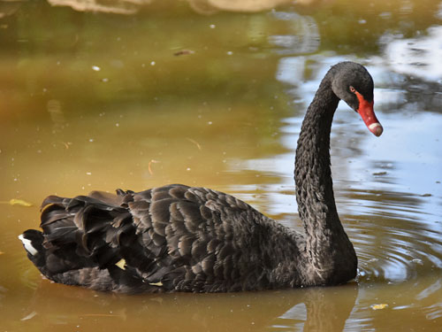 photo Cygnus atratus / Black swan