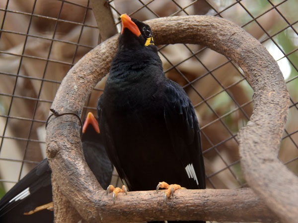 photo Hill mynah / <span class='cursive'>Gracula religiosa intermedia</span>
