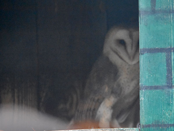 photo Common barn owl / <span class='cursive'>Tyto alba</span>