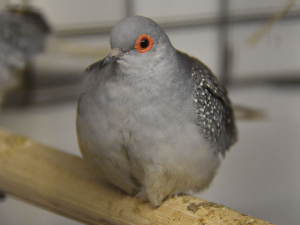 photo Geopelia cuneata / Diamond dove