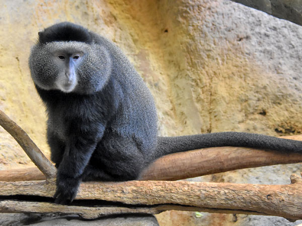 Stuhlmann's blue monkey