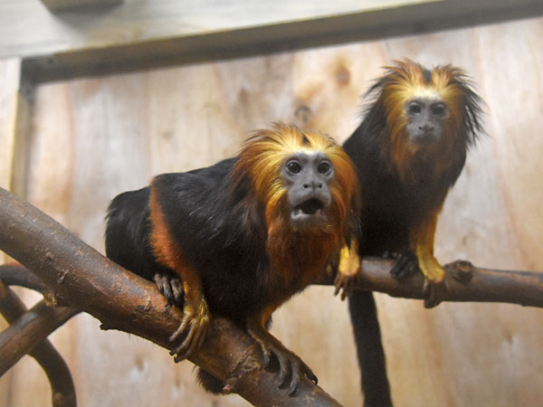 Golden-rumped tamarin