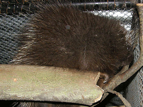 photo North American porcupine / <span class='cursive'>Erethizon dorsatum</span>