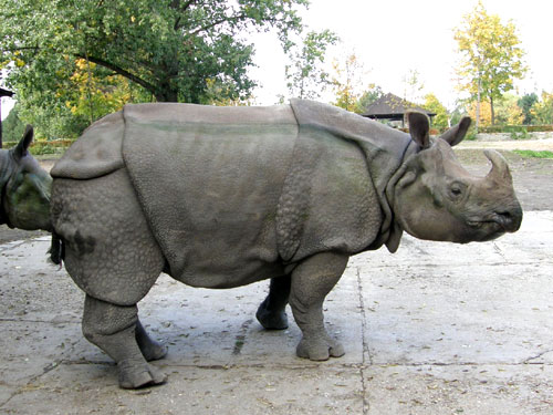 Indian rhinoceros