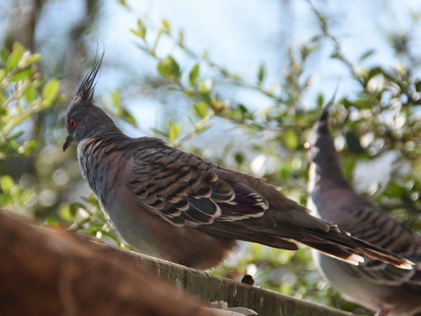 photo Ocyphaps lophotes / Crested pigeon